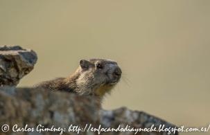 Marmotas en el Valle de Chistau