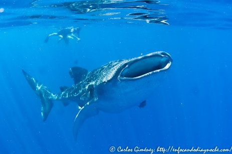 Whaleshark-50
